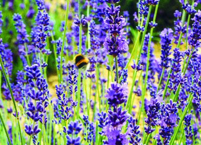 A field of lavender at http://www.perfume.ie/