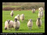 Curious sheep in Ireland looking at the photographer