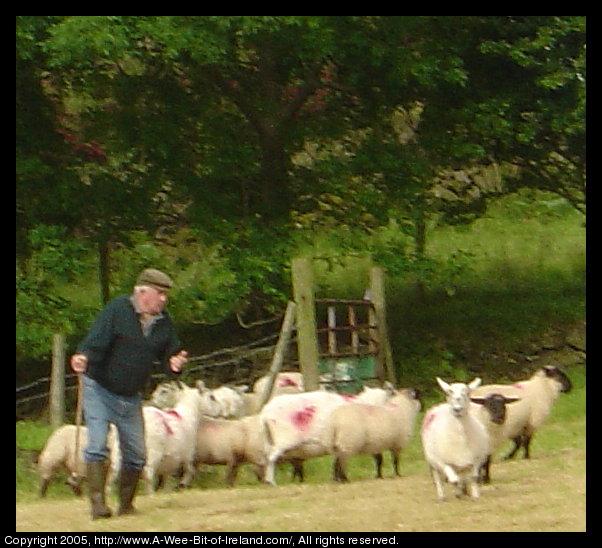 2a6cf31e1 Sheep herder near Kilcar, Donegal